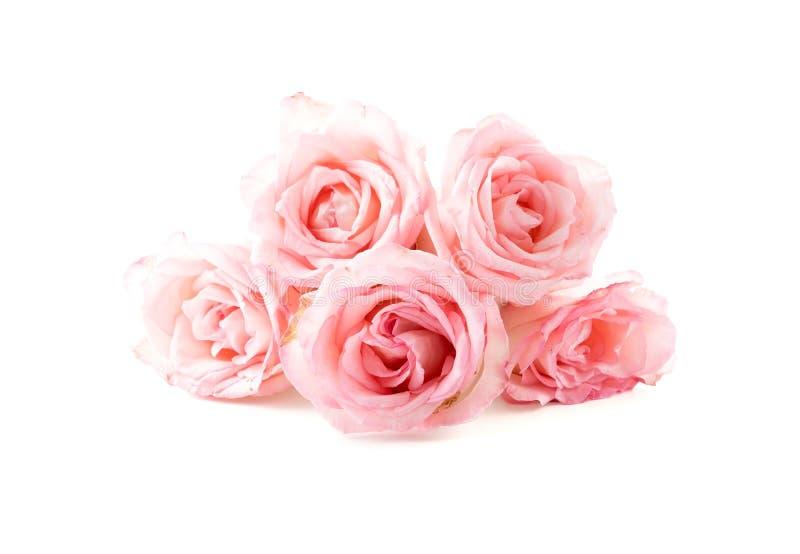 Rosa del rosa y del blanco fotos de archivo libres de regalías
