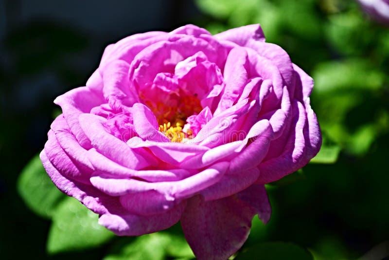 Rosa del té de la flor del vintage, gran diseño para cualquier propósitos Visi?n superior Fondo natural El perforatum herbario de foto de archivo