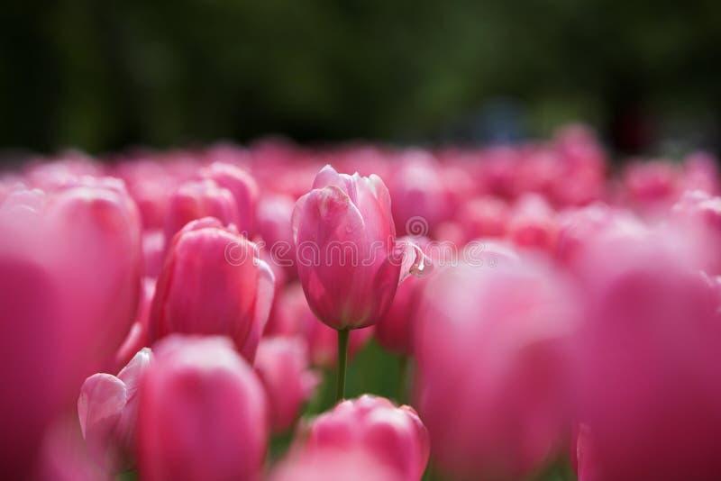 Rosa del tulipán en los tulipanes de tierra foto de archivo