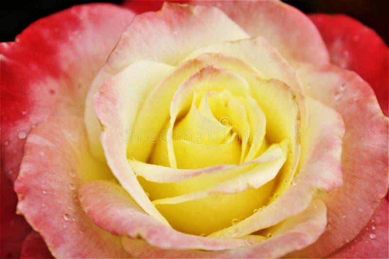 Rosa del rosa y del amarillo imagen de archivo