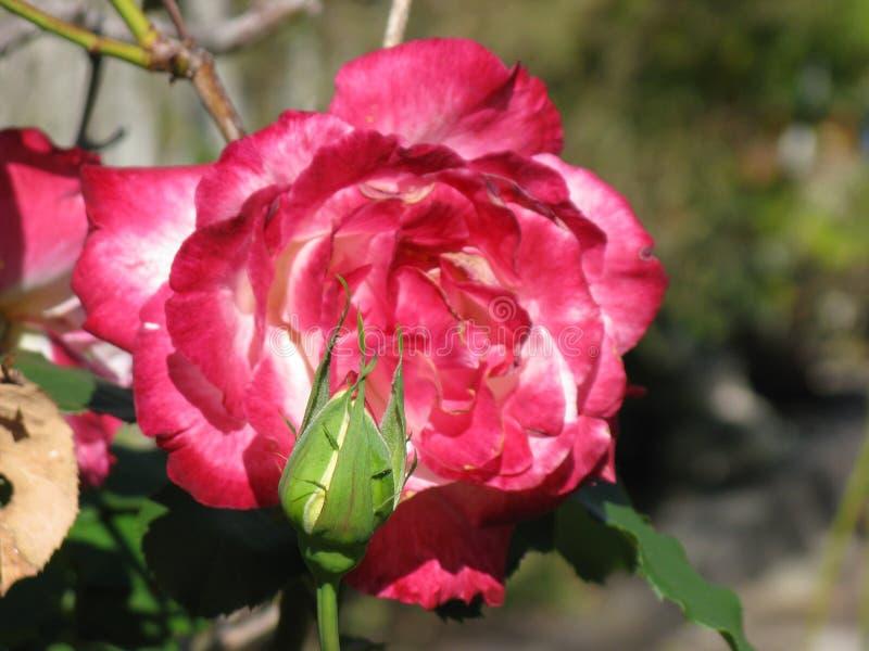 Rosa del rosa y blanca con el brote foto de archivo libre de regalías