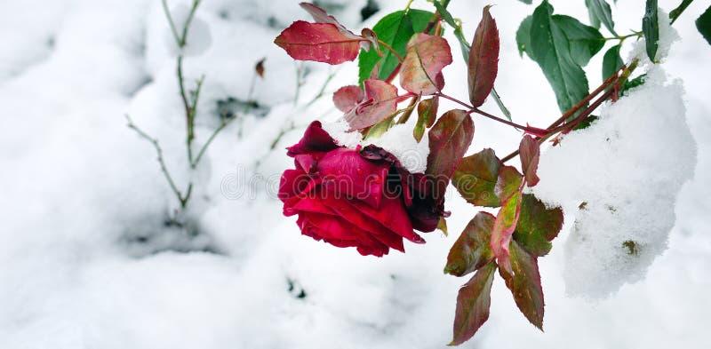 Rosa delicada del rojo en una cama de flor cubierta con nieve fresca wide imagenes de archivo