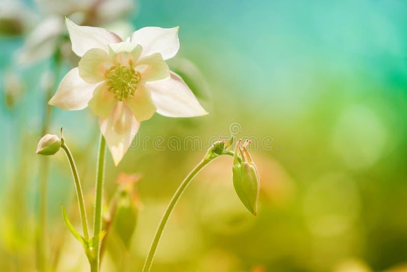 Rosa delicado da flor de Aquilegia contra um fundo azul Foco seletivo macio Imagem artística das flores fora foto de stock royalty free