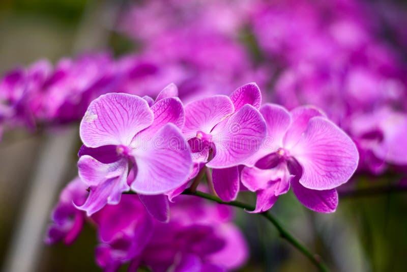 Rosa della luna dell'orchidea dall'Indonesia fotografie stock libere da diritti