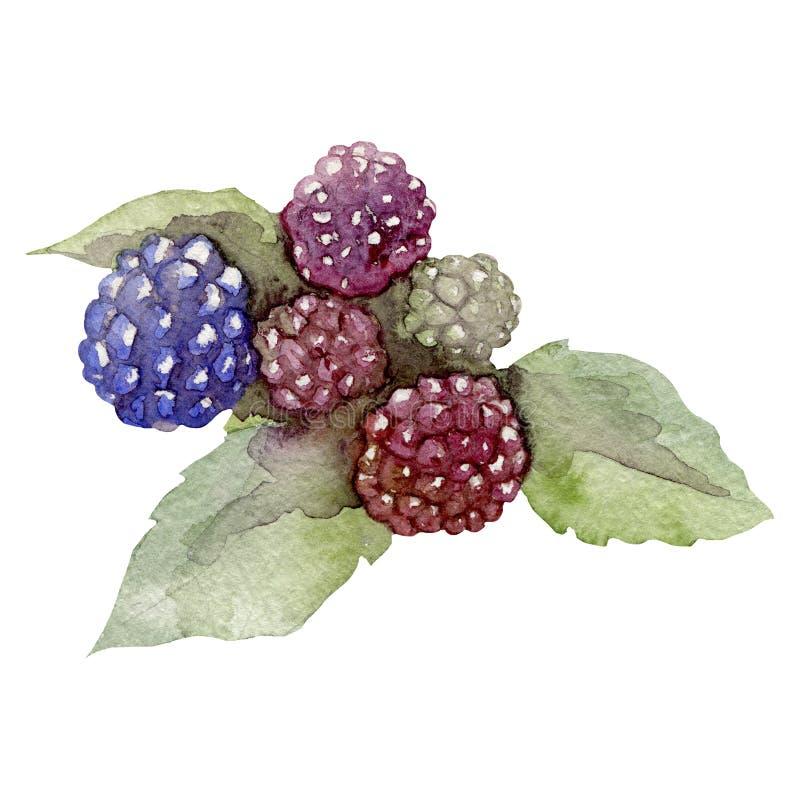Rosa della mora della frutta dell'acquerello isolata su bianco illustrazione di stock