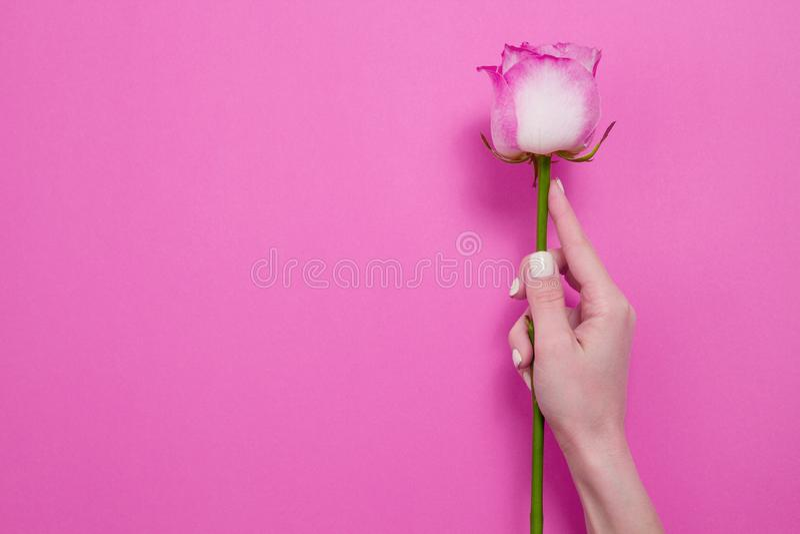 Rosa Rosa della tenuta della mano della donna Feste di giorno delle donne e della madre I fiori della primavera e dell'estate con fotografia stock libera da diritti