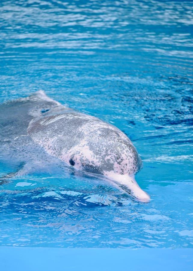 rosa delphin im meer stockfoto bild von wasser fluß