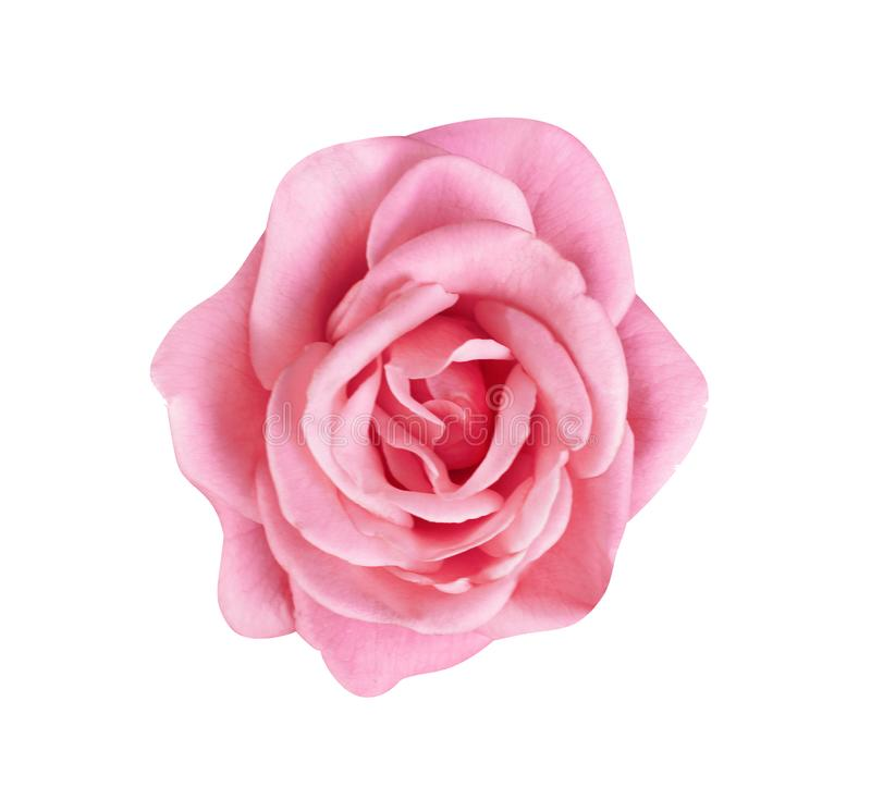 Rosa der Draufsicht buntes oder purpurrotes rosafarbenes Blumenblühen lokalisiert auf weißem Hintergrund mit Beschneidungspfad, s stockbilder