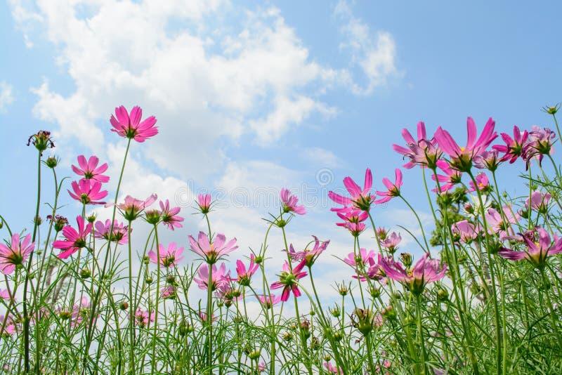 Rosa des Kosmosblumenfeldes mit Hintergrund des blauen Himmels und der Wolke stockfotos