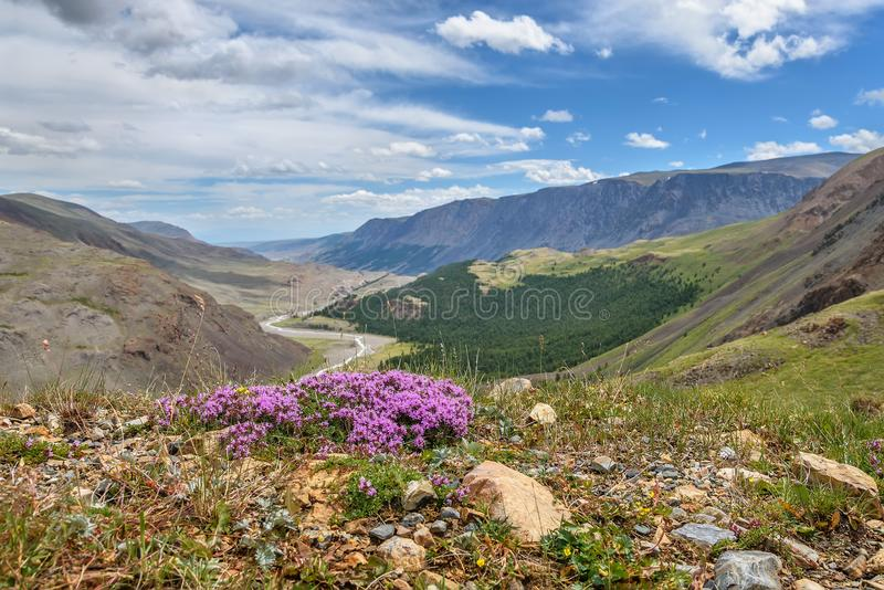 Rosa des wilden Thymians blüht Berg stockfotos