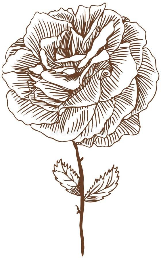 Rosa desenhada mão ilustração stock