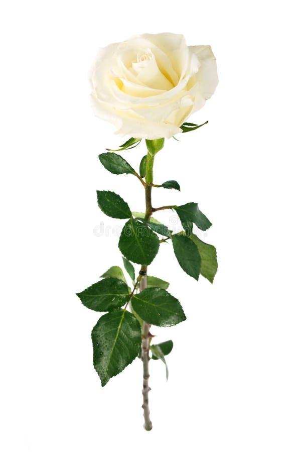 Rosa di bianco isolata immagine stock