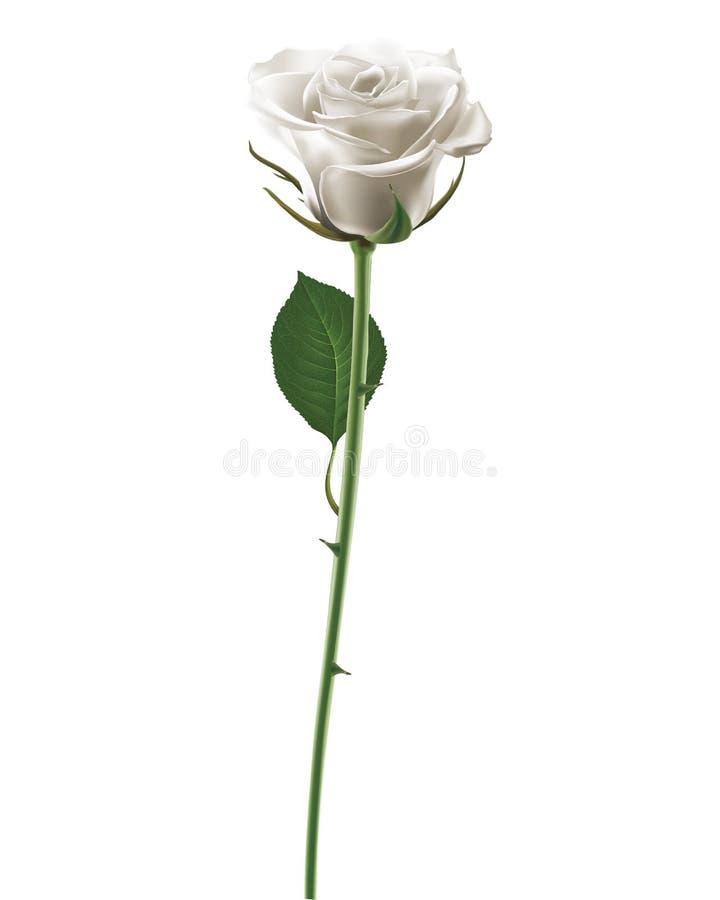 Rosa di bianco isolata su bianco illustrazione di stock