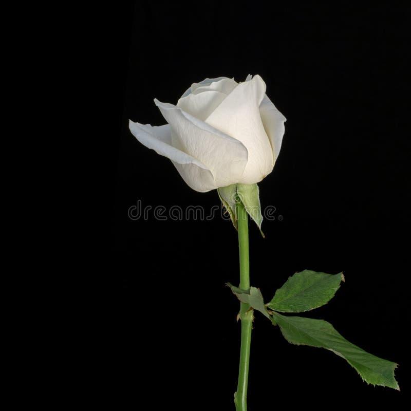 Rosa di bianco isolata sul nero con copyspace immagini stock