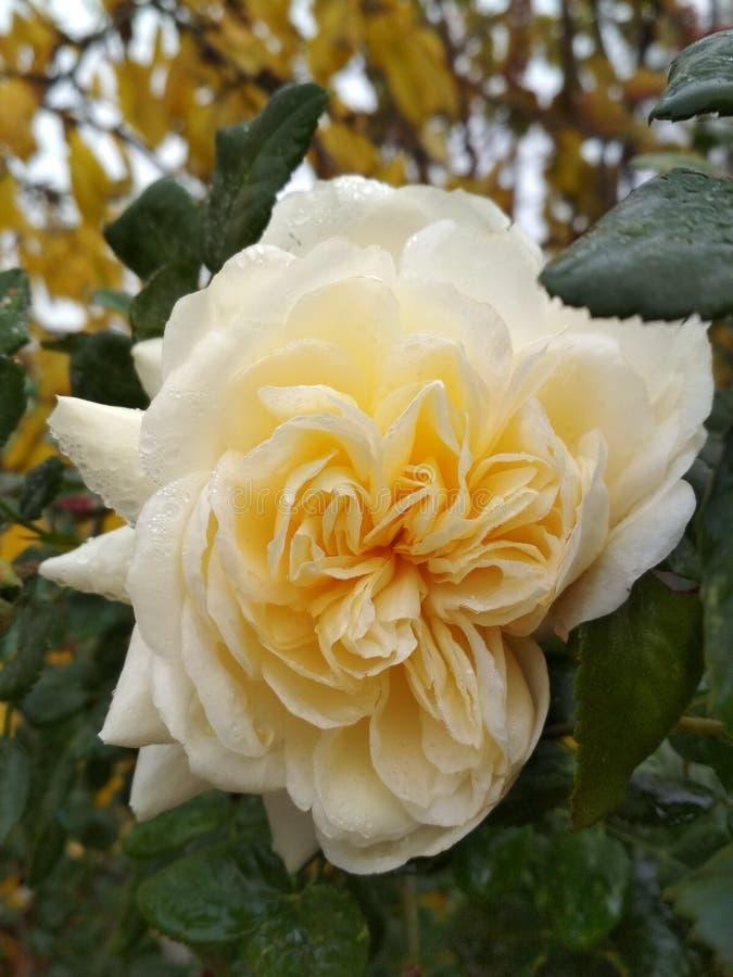 Rosa di bianco nel giardino fotografie stock libere da diritti