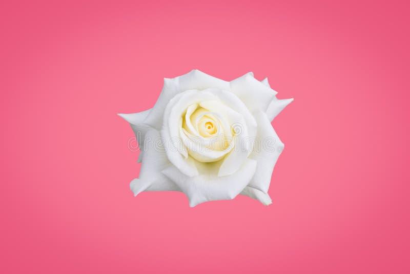 Rosa di bianco su fondo rosa fotografia stock libera da diritti