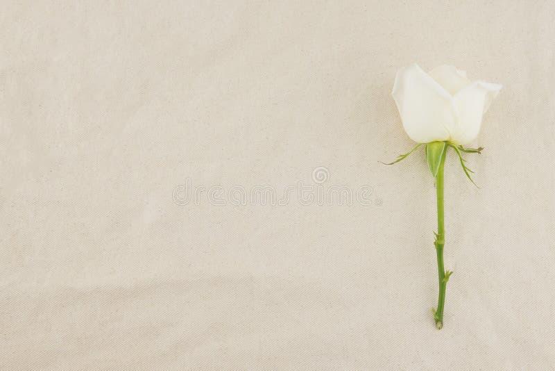 Rosa di bianco sul tessuto bianco della mussola fotografia stock libera da diritti