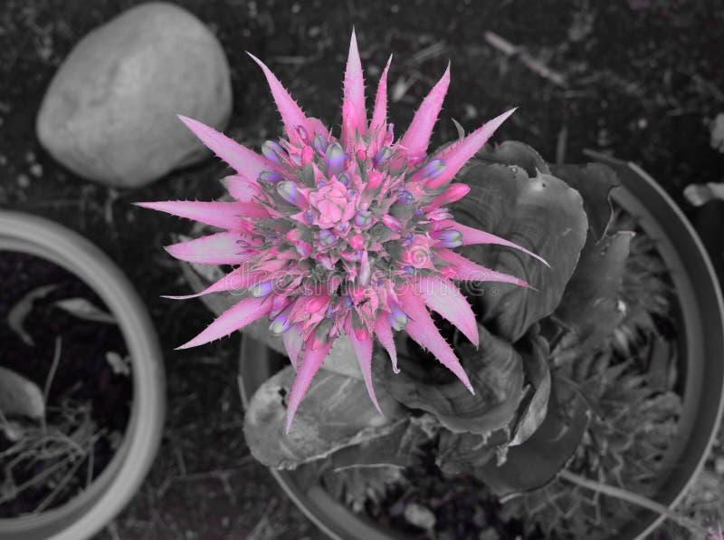 Rosa di Bromilia fotografia stock