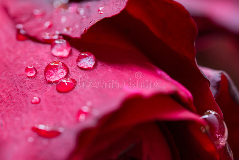 Rosa di colore rosso, acqua di goccia fotografie stock libere da diritti