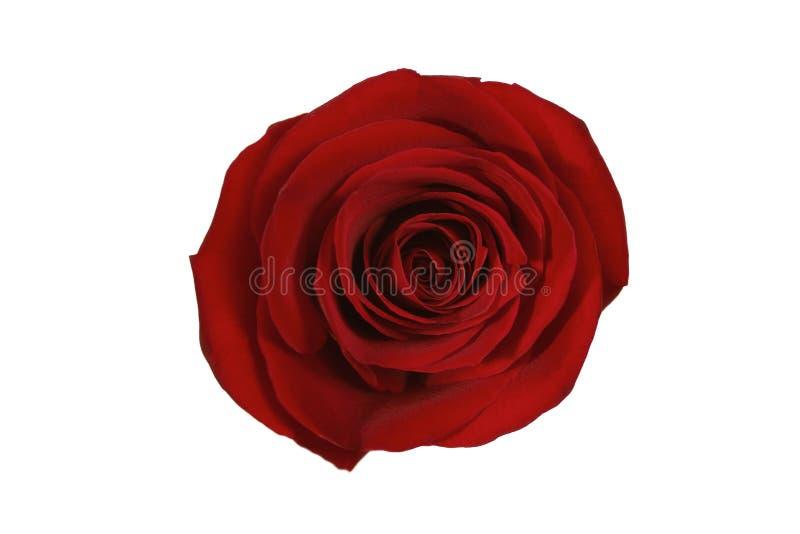 Rosa di colore rosso isolata fotografie stock