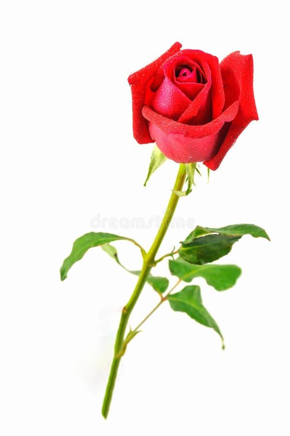 Rosa di colore rosso isolata sopra bianco fotografia stock