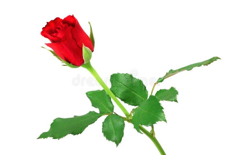 Rosa di colore rosso isolata su bianco fotografie stock