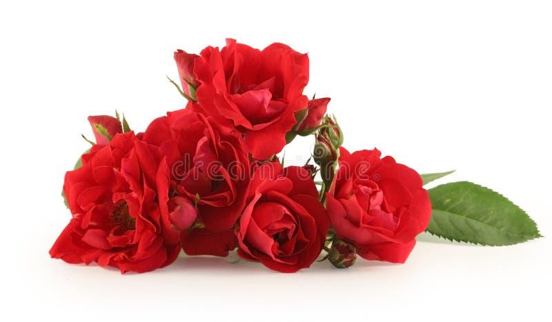 Rosa di colore rosso isolata su bianco fotografia stock libera da diritti