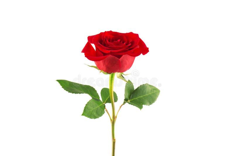 Rosa di colore rosso isolata su priorità bassa bianca fotografie stock
