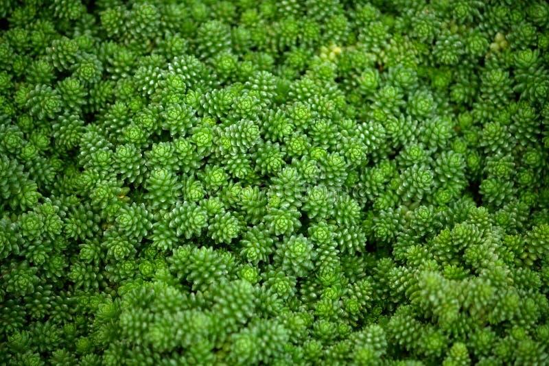 Rosa di compactum di sedum di crassulaceae, piccole piante verde intenso fotografia stock libera da diritti