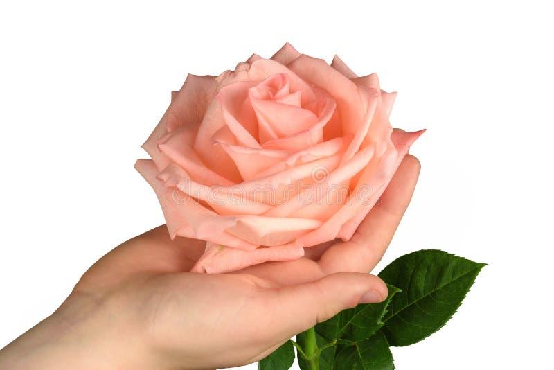 Rosa di rosa a disposizione isolata fotografia stock libera da diritti