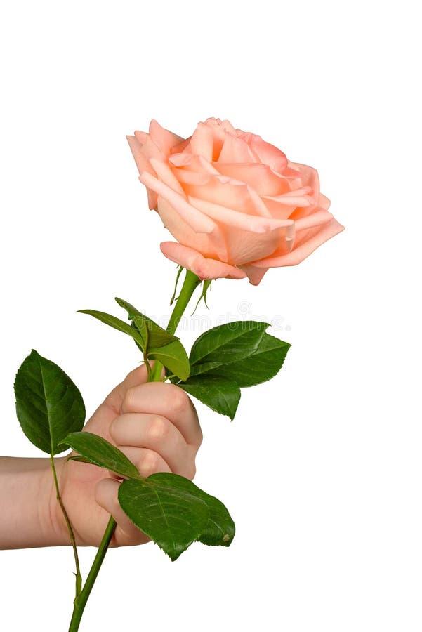 Rosa di rosa a disposizione isolata immagine stock libera da diritti