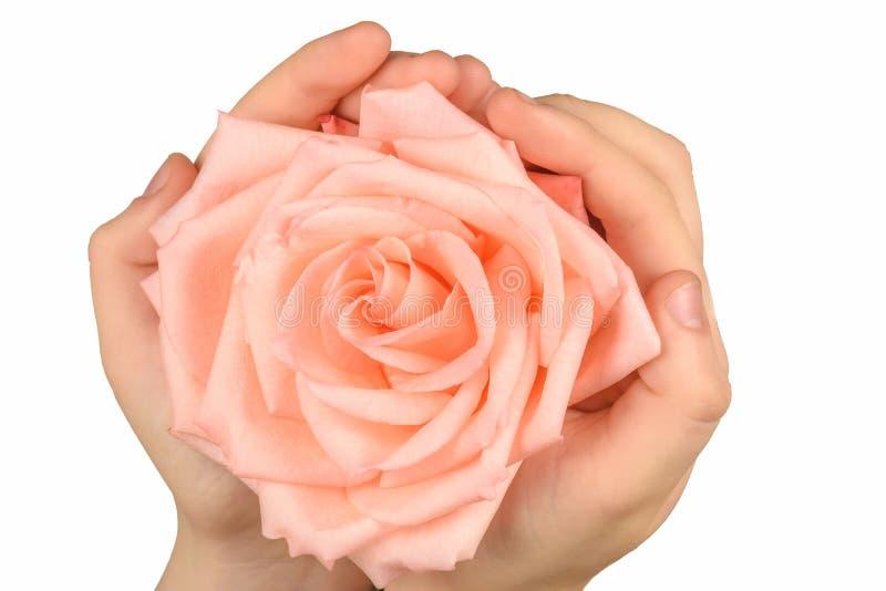 Rosa di rosa a disposizione isolata su bianco fotografia stock