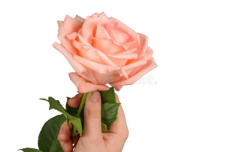 Rosa di rosa a disposizione isolata su bianco fotografia stock libera da diritti