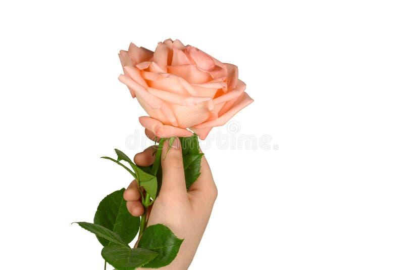 Rosa di rosa a disposizione su bianco immagini stock