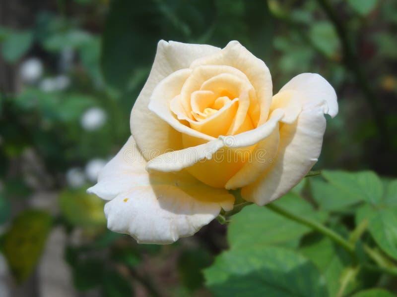 Rosa di giallo arancio fotografie stock libere da diritti
