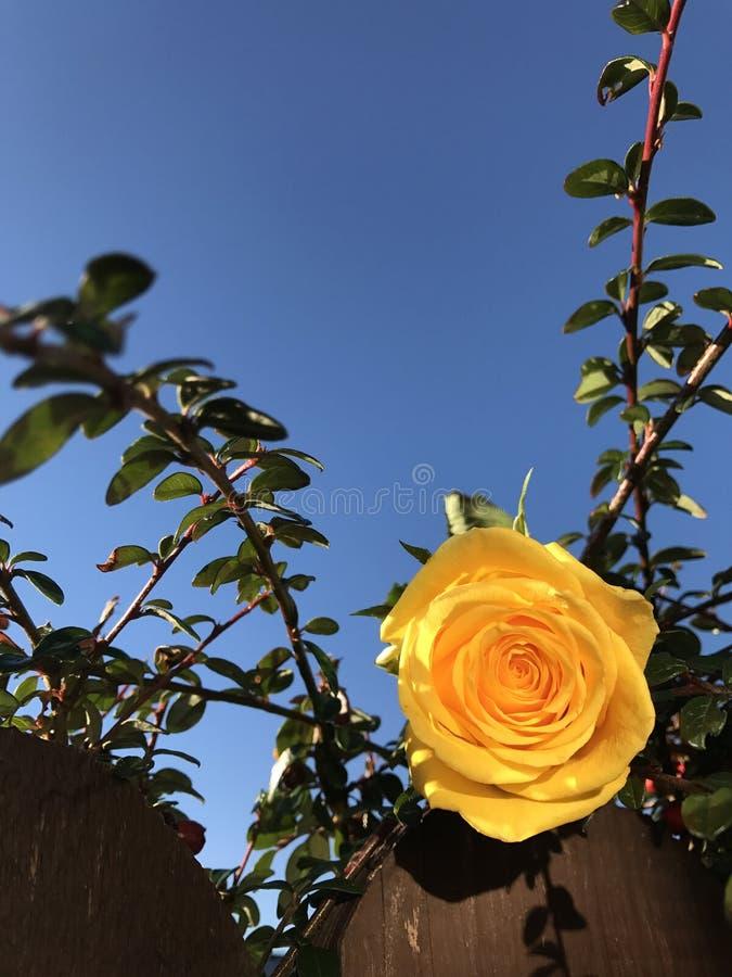 Rosa di giallo contro i cieli blu immagine stock libera da diritti