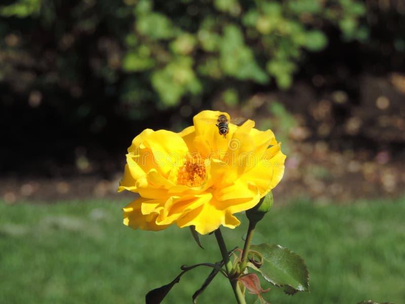 Rosa di giallo dell'ape del miele fotografia stock libera da diritti