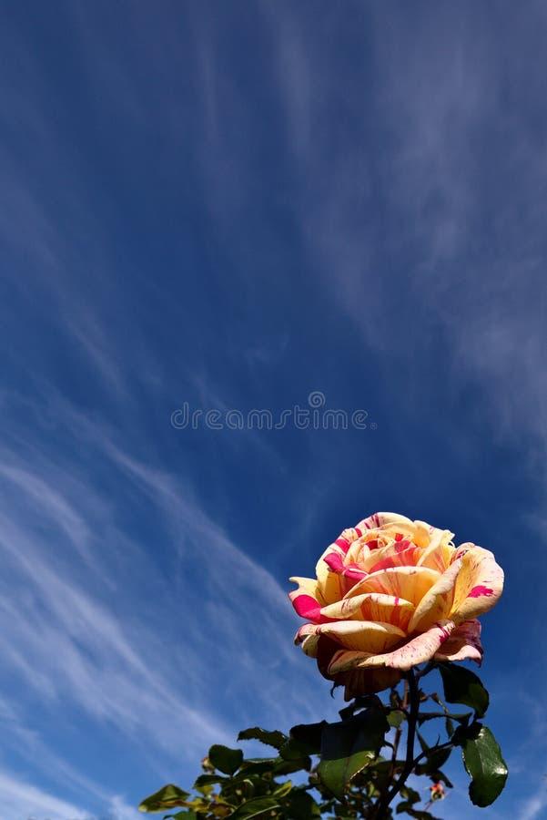 Rosa di giallo e di rosa fotografie stock libere da diritti