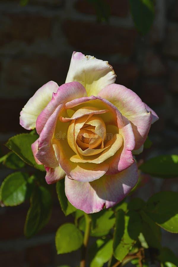 Download Rosa di giallo e di rosa immagine stock. Immagine di molla - 30826257