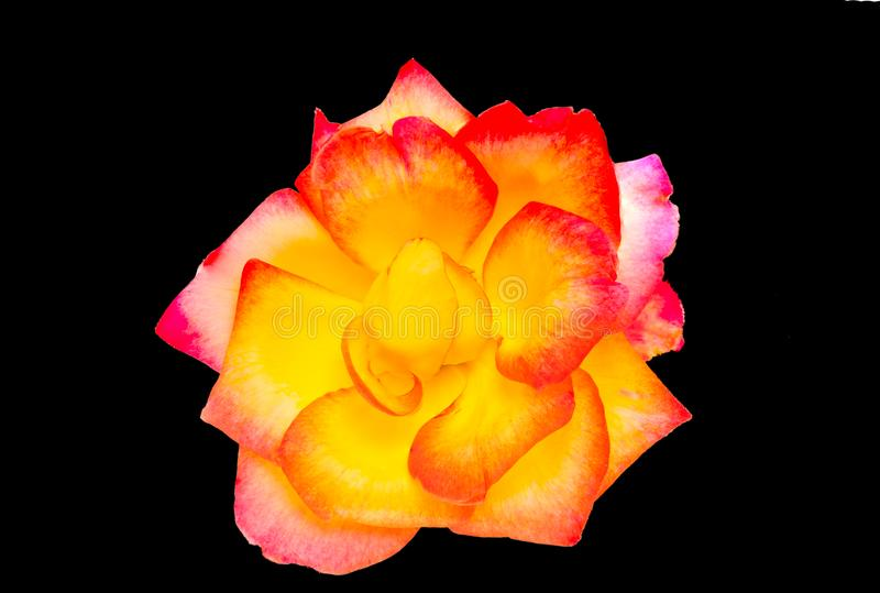 Rosa di giallo e di rosso fotografia stock libera da diritti