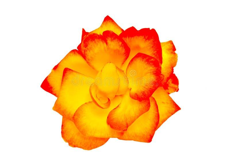 Rosa di giallo e di rosso fotografia stock