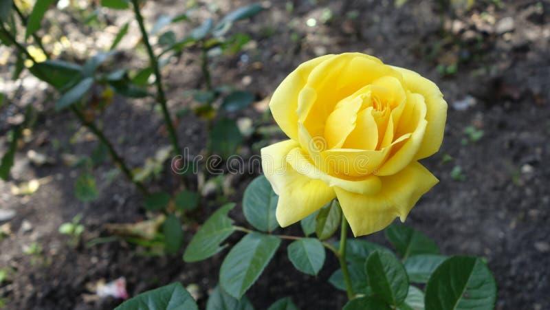 Rosa di giallo di Landora immagine stock