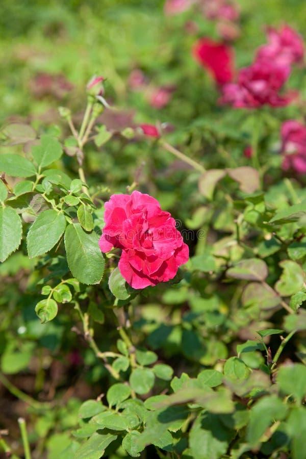 Rosa di rosa del raccolto in un piccolo giardino fotografia stock