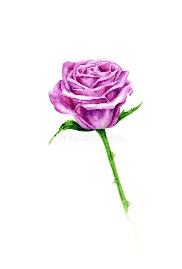 Rosa di rosa dell'acquerello di vettore su fondo bianco, royalty illustrazione gratis