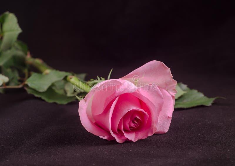 Rosa di rosa, fine su fotografie stock libere da diritti