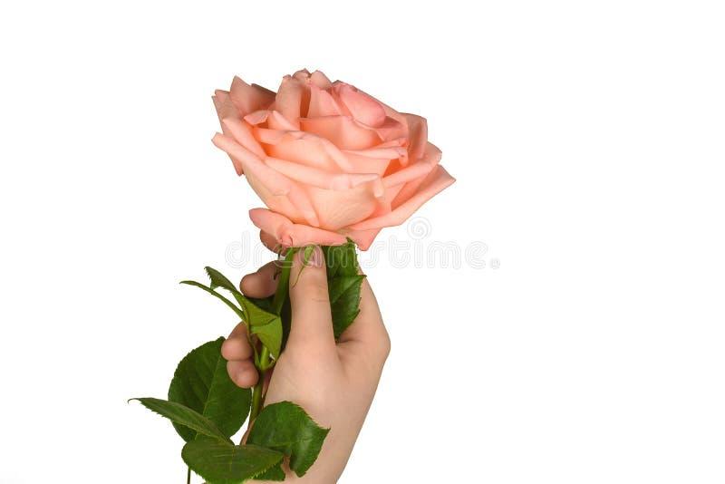 Rosa di rosa in una mano, isolata fotografia stock