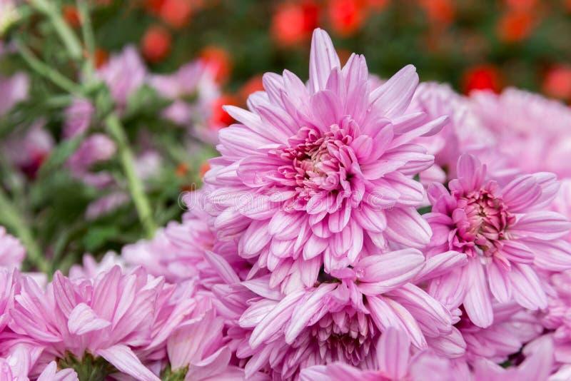rosa diasy blomma i trädgård arkivfoton