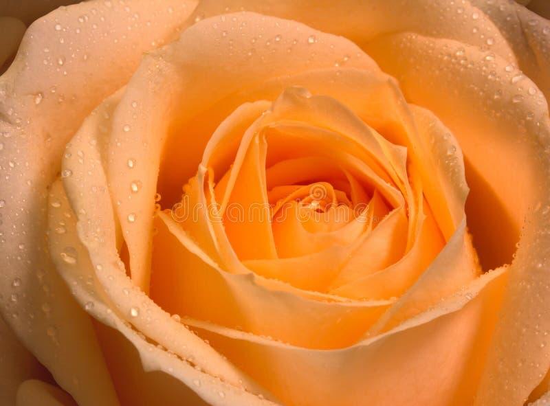 Rosa do amarelo fotos de stock