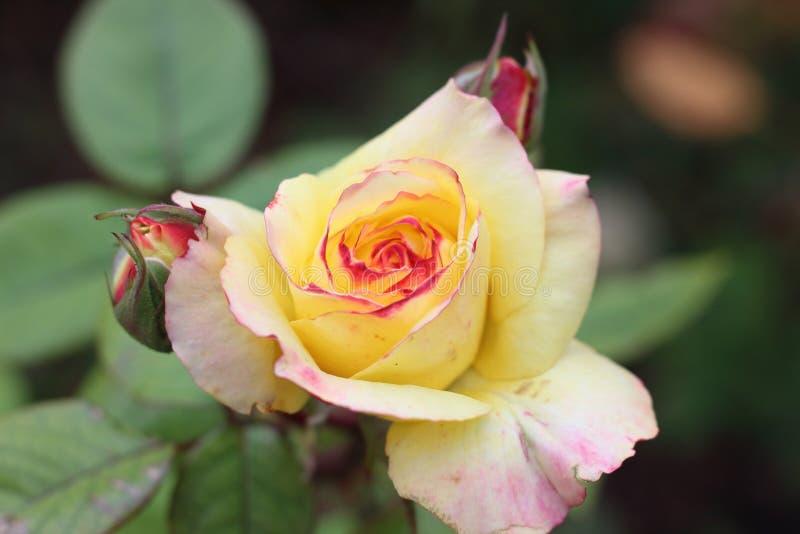 Rosa do amarelo com extremidades vermelhas fotos de stock