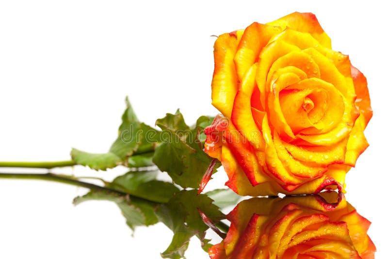 Rosa do amarelo isolada imagem de stock